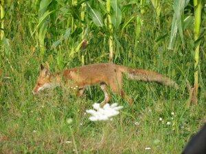 Fuchs zum Frühstück