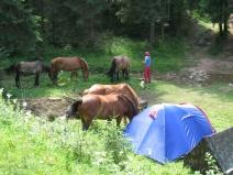 Wilde Pferde auf dem freien Campingplatz.